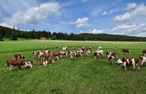 Vaches laitières montbéliardes ©EtienneLiautaud