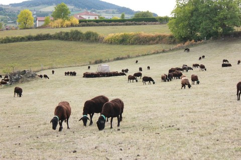 Moutons noirs du Velay - ©HLP