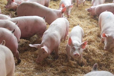 Porcs de Haute-Loire -  ©HLP