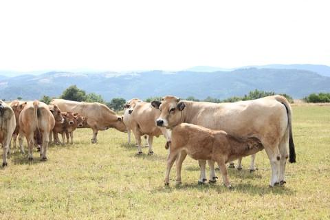 Vaches allaitantes Aubrac - ©HLP