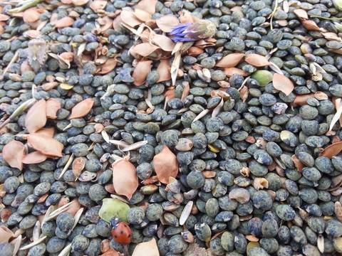 Lentilles vertes du Velay ©LaëtitiaPitiot